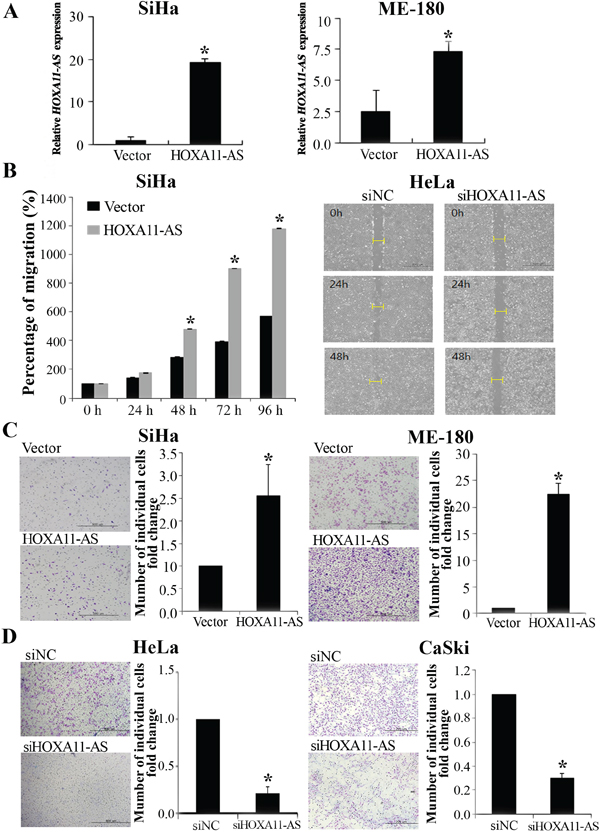 Homeobox A11 antisense lncRNA promotes cell migration and invasion.