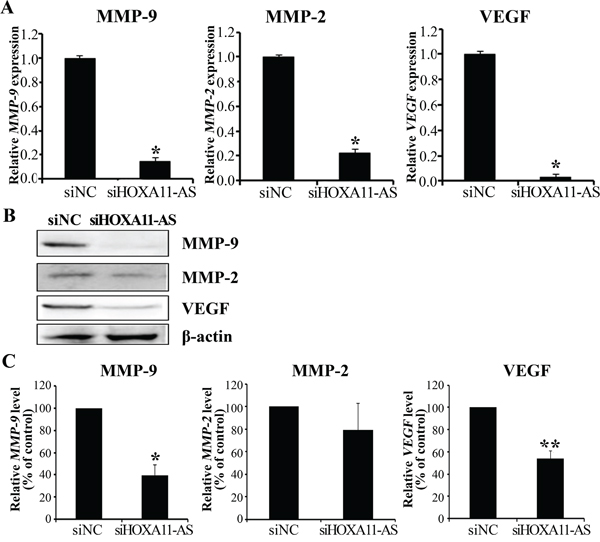 Knockdown of HOXA11-AS decreases MMP-9, MMP-2, and VEGF expression in cervical cancer cells.