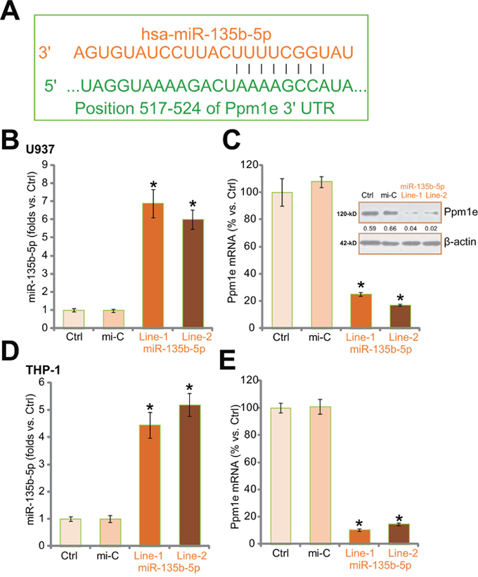 Expression of miR-135b-5p downregulates Ppm1e in human macrophages.