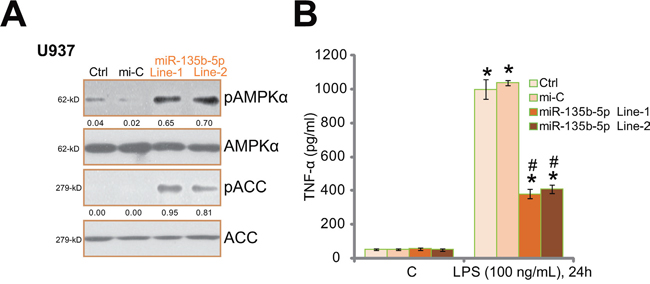 miR-135b-5p activates AMPK signaling and inhibits LPS-induced TNFα production in human macrophages.