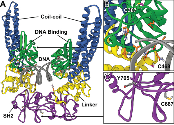 Structure of STAT3 dimer complexed with DNA.