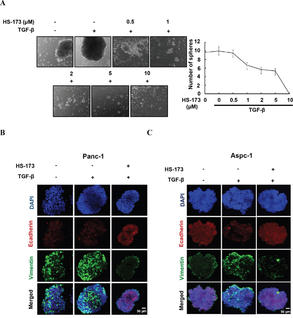 HS-173 reduced the growth of TGF-β-induced tumor spheroids.