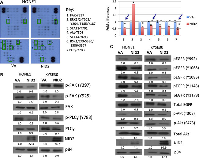 NID2 suppresses important signaling pathways in cancer.