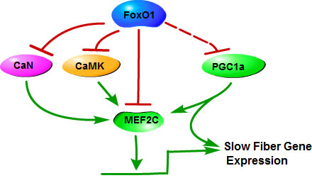 Mechanisms of FoxO1 in the regulation of slow skeletal muscle fiber gene expression.