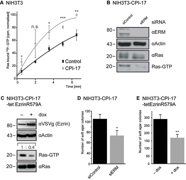 CPI-17 drives Ras activation and cellular transformation via ERM proteins. (