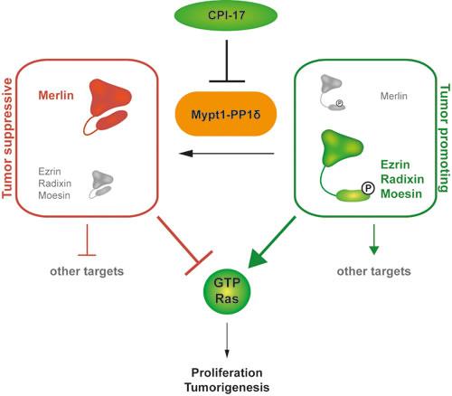 CPI-17 is a key regulator of a novel oncogenic signaling cascade.