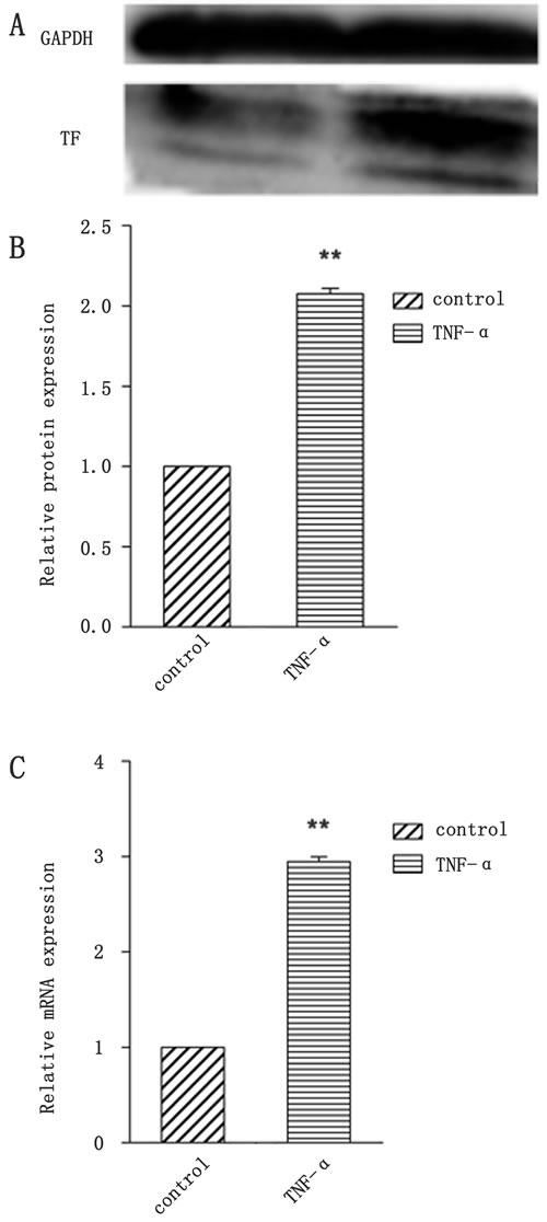 Identification of BCECs TF expression by TNF-α stimulation.