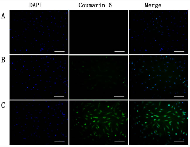 Uptake of coumarin-6-labeled nanoparticles by TNF-α-stimulated BCECs at 37