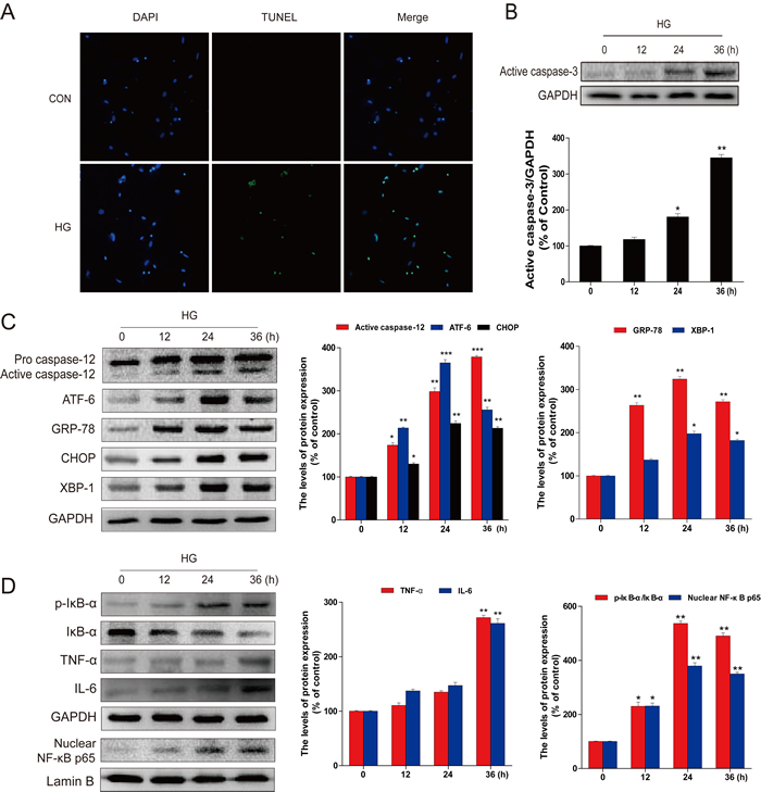 HG-induced apoptosis, ER stress, and inflammatory response in primary hippocampal neurons.