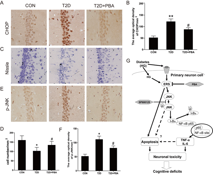 PBA administration protects the neural cells in the CA1 region of the T2D rats, and inhibits the expressions of CHOP and p-JNK protein.