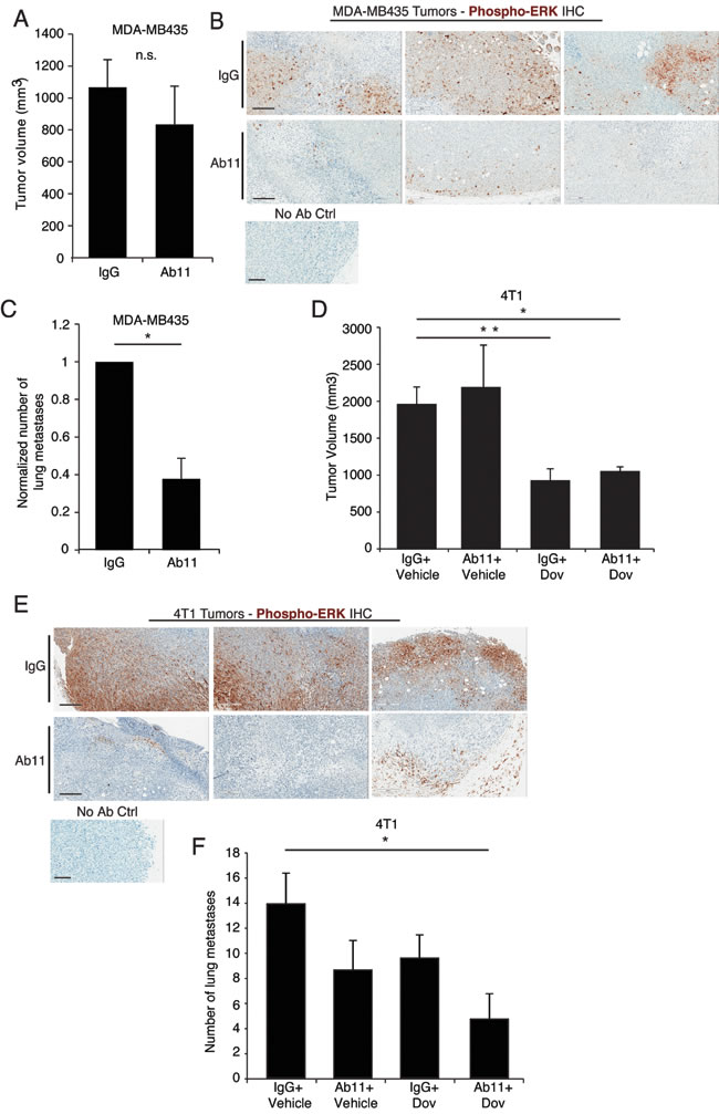 Targeting serpinE2 with Ab11 reduces lung metastasis in breast cancer models. (