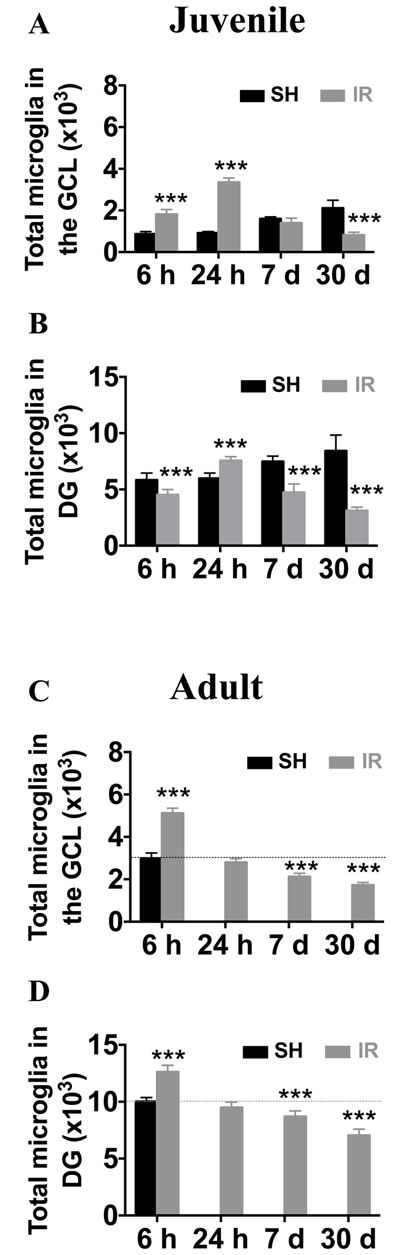 Irradiation induced a more pronounced and protracted microglia increase in the juvenile hippocampus.