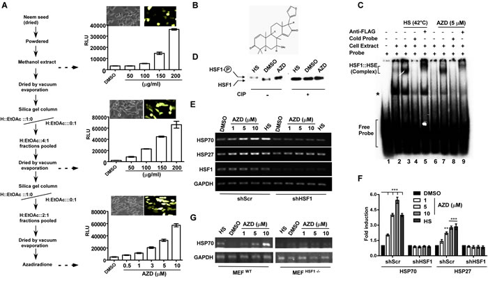 Azadiradione (AZD) activates HSF1 and its target heat shock chaperone genes.