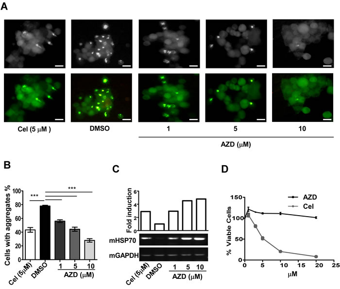 AZD reduces protein aggregation and associated toxicity in the cell.