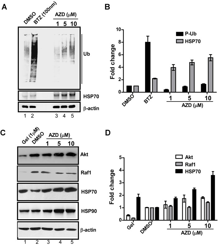 AZD induces HSP70 protein expression without interfering with the functions of HSP90 or proteasome.