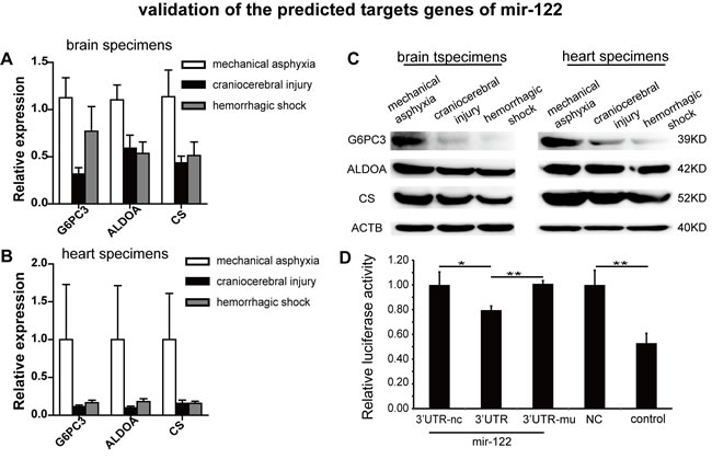 G6PC3, ALDOA and CS exhibited inverse correlations with mir-122 in specimens from the indicated causes of death and Dual luciferase reporter analysis of CS in 293T cells.