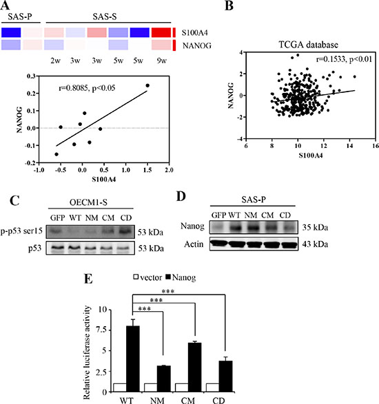 S100A4 enhances the expression of Nanog by negative regulating p53.