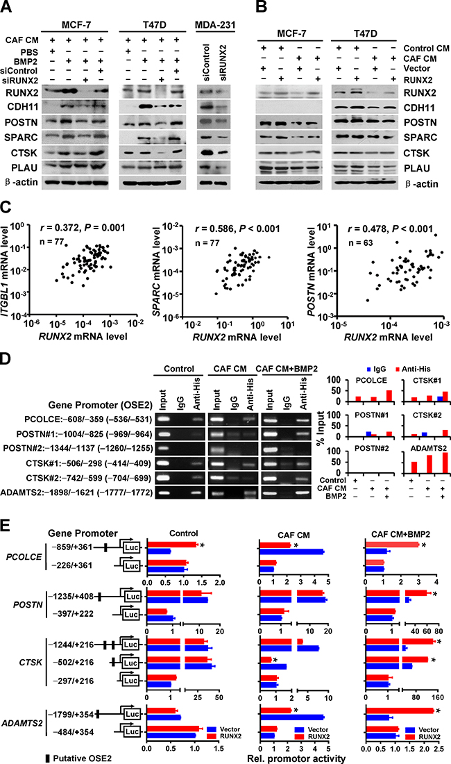 RUNX2 mediates the CAF/BMP2-induced co-expression of BRGs in breast cancer cells through directly and indirectly regulating their transcription.