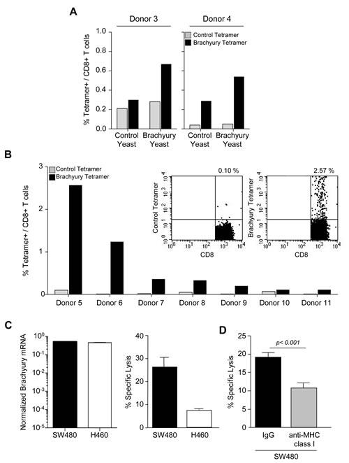 Expansion of brachyury-specific CD8