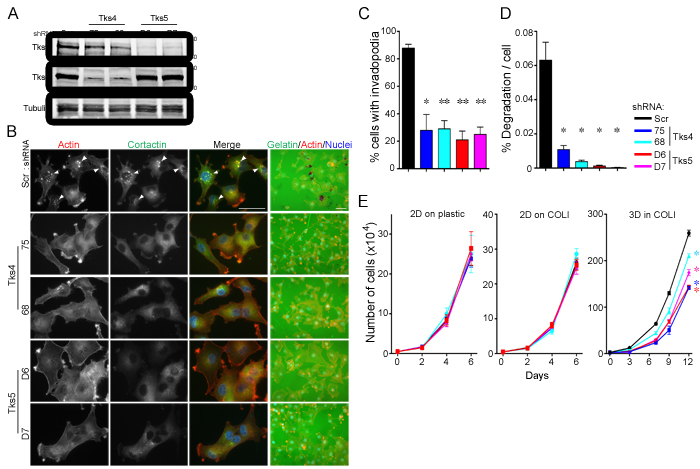 Tks adaptors are required for human melanoma invasion and growth in 3D culture conditions.