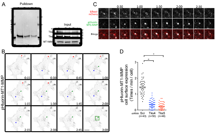 Tks adaptor proteins regulate surface expression of MT1-MMP.