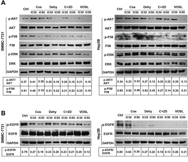 VOSL suppressed the EGFR/MEK/P38 and EGFR/PI3-K/Akt pathways in HCC cells.