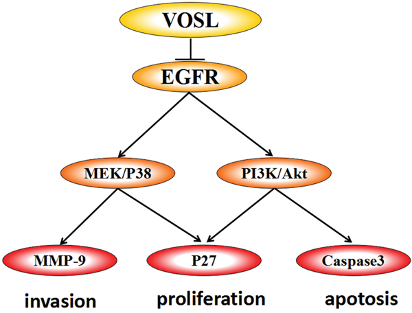 The model of how VOSL exerts antitumor efficacy in SMMC-7721 and Hep3B cells.