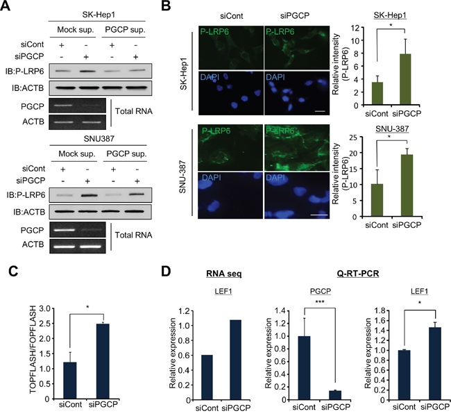 PGCP knockdown induces phosphorylation of LRP6.