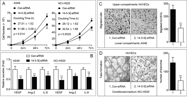 Effects of 14-3-3ζ on the angiogenic ability in NSCLC cells.