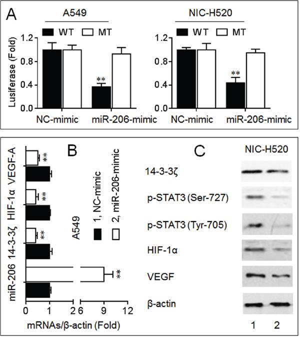 MiR-206 inhibited the 14-3-3ζ/STAT3/HIF-1α/VEGF signaling.