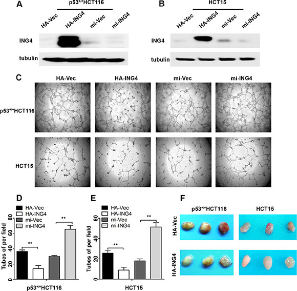 Expression of ING4 in CRC cells negatively regulated tube formation in vitro and inhibited blood vessel formation in vivo.