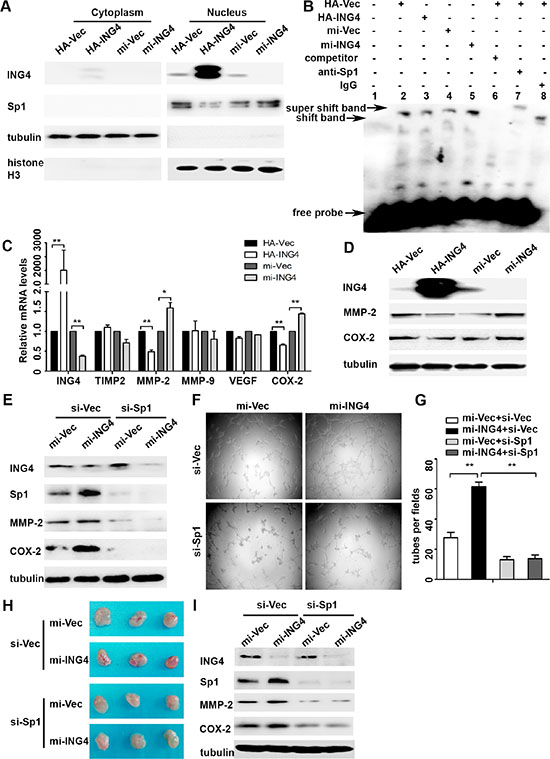 ING4 suppressed Sp1 expression and transcriptional activity to regulate expressions of its target pro-angiogenic genes MMP-2 and COX-2 and angiogenesis in vitro and in vivo.