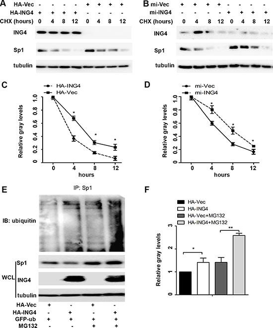 ING4 promoted Sp1 ubiquitin degradation.
