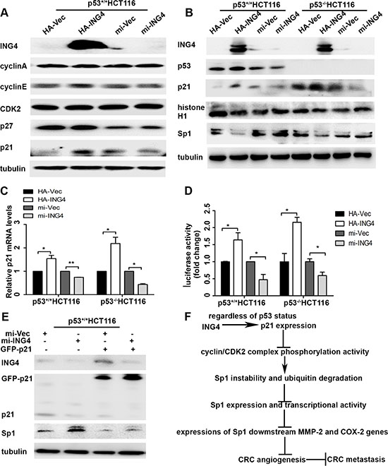 ING4 regulated p21 expression to mediate the instability of Sp1.