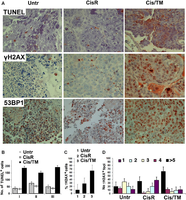 TM enhances cisplatin sensitivity in cisplatin/TM combined therapy in athymic nude mouse models through enhancement of DNA damage and apoptosis.