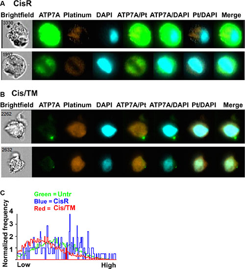 Co-localization between ATP7A, cisplatin and cell nucleus.