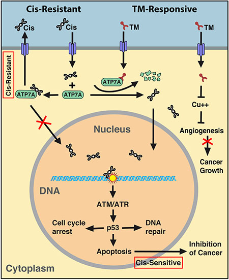 Summary of the mechanism regarding synergy between cisplatin and TM.