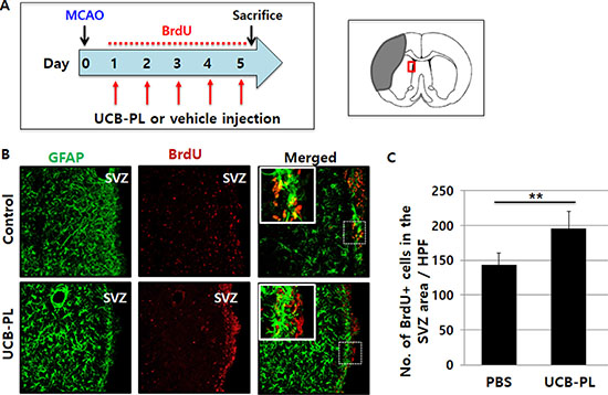 Increased neural stem cell proliferation in the subventricular zone (SVZ) after UCB-PL administration.