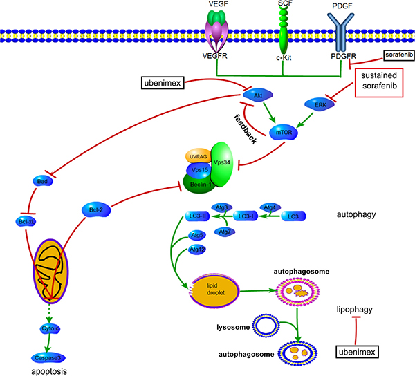 Proposed mechanisms by which AKT activation contributes to acquired resistance to sorafenib by regulating Akt and autophagy.