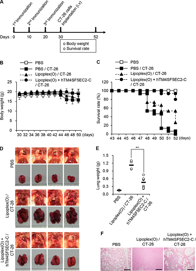 Inhibition of lung metastasis by immunization with TM4SF5 cyclic peptide vaccine in a mouse model of colon cancer.