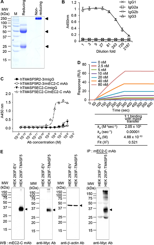 Purification and characterization of the mouse anti-TM4SF5 monoclonal antibody that recognizes the TM4SF5 cyclic peptide.