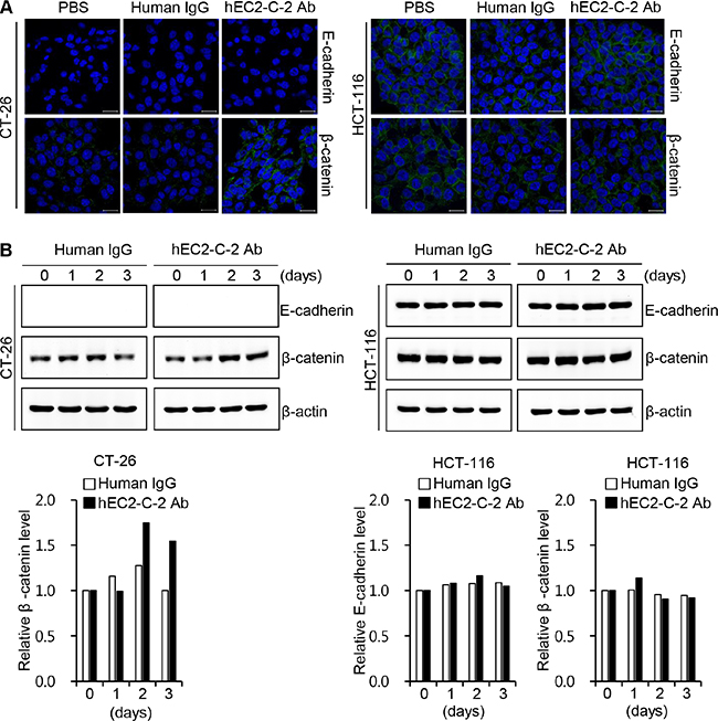 Effect of the humanized anti-TM4SF5 antibody on the expression of adhesion molecules in colon cancer cells.