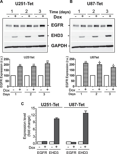 In absence of ligand stimulation, EHD3 increases the level of EGFR in glioblastoma cells.