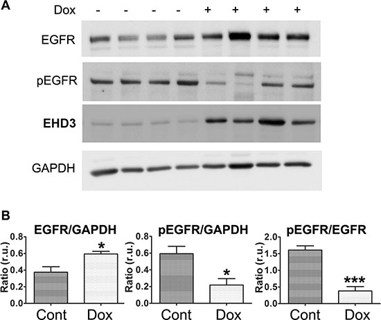 EHD3 expression inactivates EGFR in vivo.