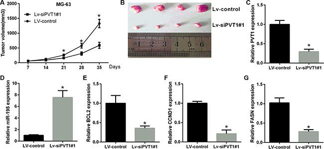PVT1 promotes tumor growth in vivo.