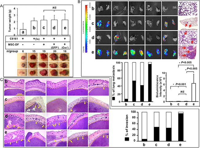 MSC-DFNotch1-/- selectively promote melanoma invasion and metastasis in vivo.