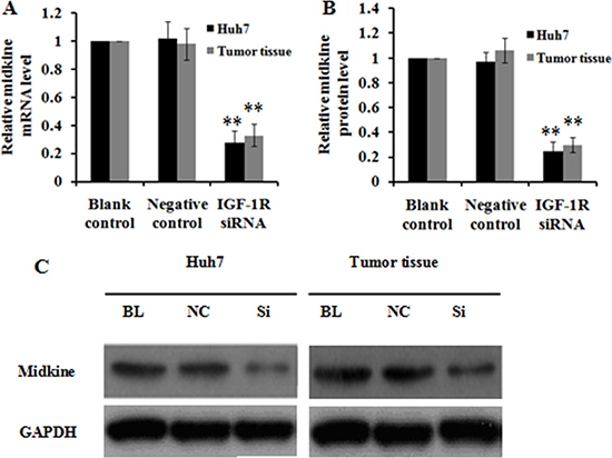 Effect of IGF-1R knockdown by RNAi on midkine expression in Huh7 cells and tumor tissues of nude mice.