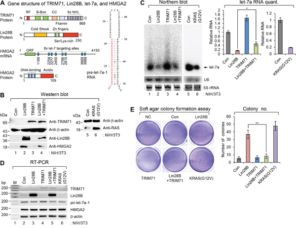 TRIM71 suppresses the cellular-transforming activity of Lin28B.
