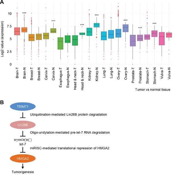 TRIM71 expression is downregulated in various cancer patient tissues.