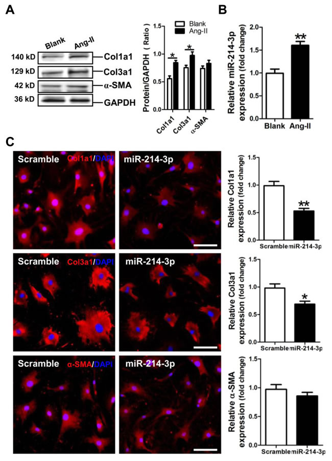 Expression of miR-214-3p in Ang-II-induced myofibroblasts and its effect on expressions of Col1a1, Col3a1 and α-SMA in myofibroblasts.